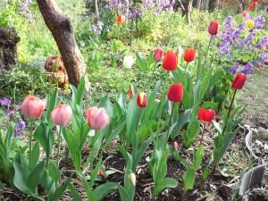 庭に咲いたチューリップ✿